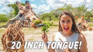 Feeding Giraffes with 20 INCH TONGUES!! @ Zoo Miami