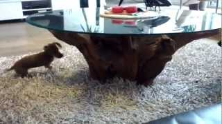 Dachshund Jola & Poodle Mix Playing