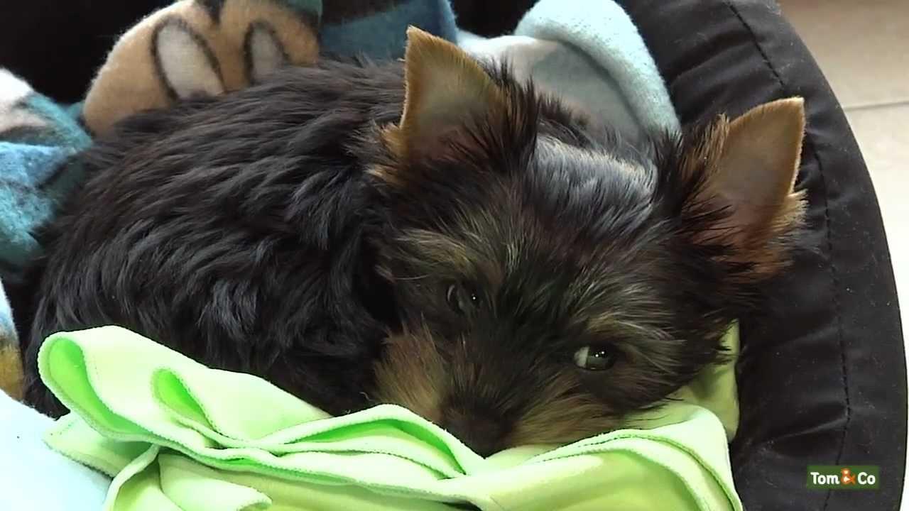 premiers jours et nuits avec votre nouveau chien mon chien tom co youtube. Black Bedroom Furniture Sets. Home Design Ideas