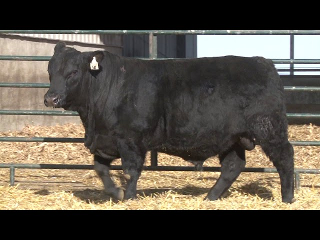 Schiefelbein Angus Farms Lot 115