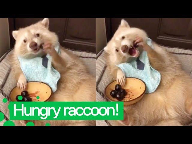 Cute Raccoon Eats Cherries | Raccoons are Awesome