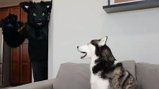 Husky Pranked By Cat Mask!