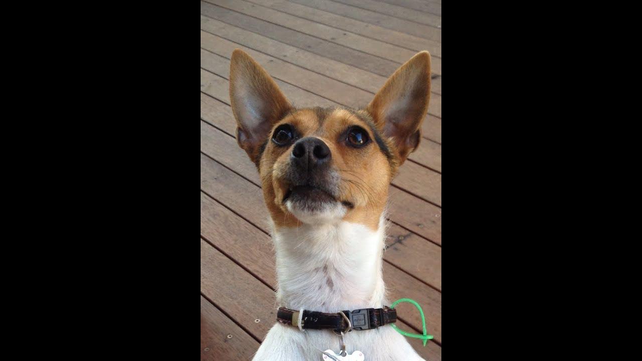 jack russel puppy bella youtube
