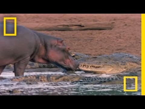 Thumbnail: Hippo Licks Croc | National Geographic