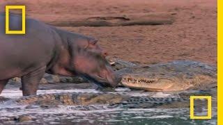 Hippo Licks Croc | National Geographic