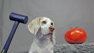 Dog vs Fruit Crush Experiment: Funny Dog Maymo Crushing Things w/Sledgehammer!