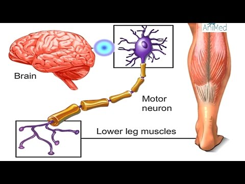 How Nervous System Works Animation - Nerve Conduction Physiology. Central & Peripheral Anatomy Video