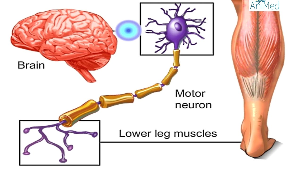 How Nervous System Works Animation Nerve Conduction Physiology