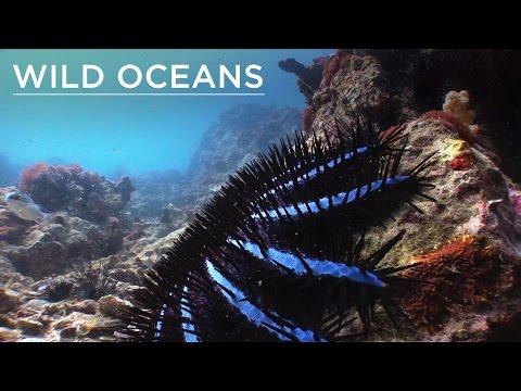 Mega-venomous starfish and a turtle happy meal