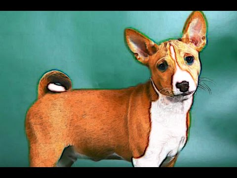Basenji Brief History of Breed of Dog Lovers Dogs Basenji Facts Basenji Origins Background