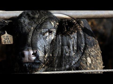 Cattle Market Analysis - Josh Maples - December 8, 2017