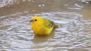 Aves de Venezuela – Aves de Barinas - Canario de Tejado y Tángara Rey