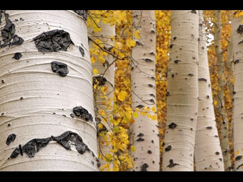 Utah's State Tree: The Quaking Aspen, by Monroe Elementary