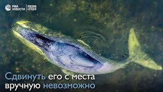 13 метровый гренландский кит застрял в устье реки в Хабаровском крае