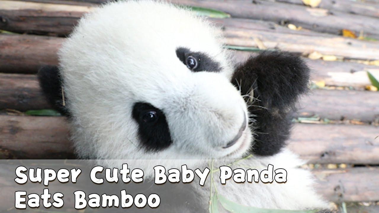 Super Cute Baby Panda Eats Bamboo Ipanda Youtube
