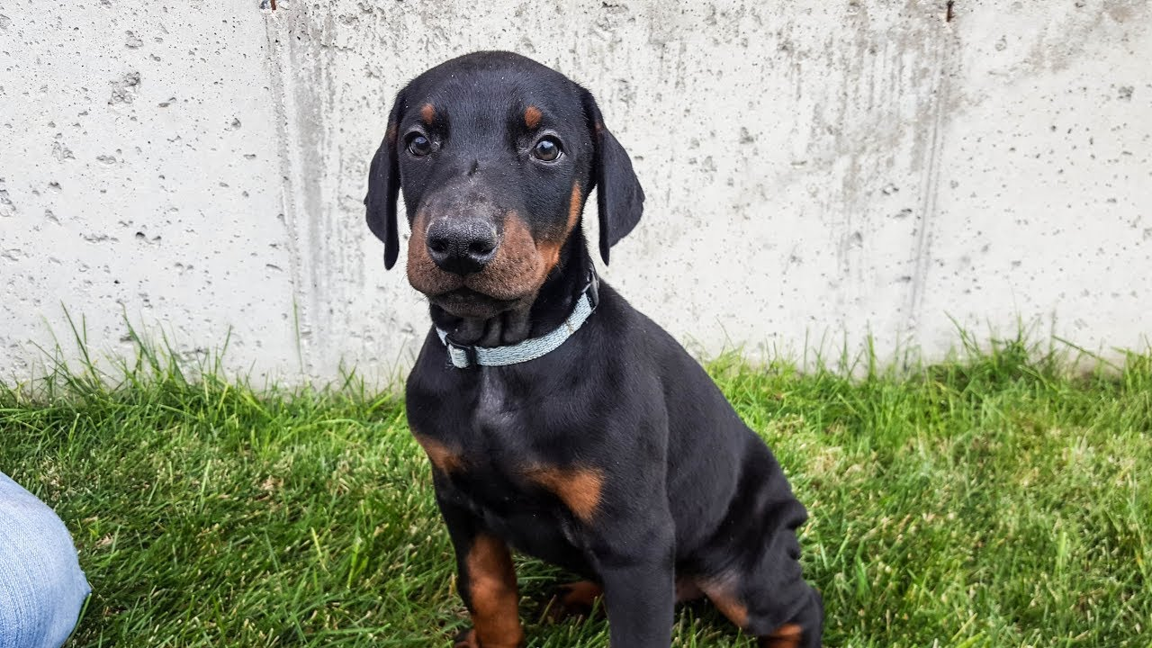 Working & Family European Doberman Puppies For Sale - Diamondline Dobermans