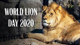 Lion Enrichment at Taronga Zoo - WORLD LION DAY 2020