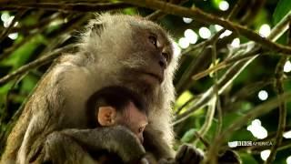 Monkey Pool Party | Wild Singapore | BBC America