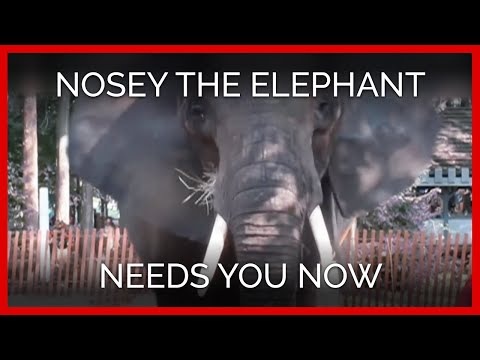 Nosey the Elephant Needs You Now