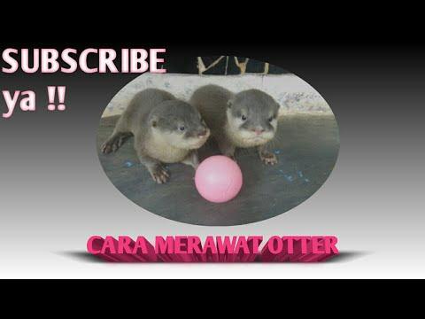 Halo Pecinta Satwa... Alhamdulillah Hari ini bisa keturutan membeli Otter,, Otter ini sy beli dari temen sy yang awam tentang....