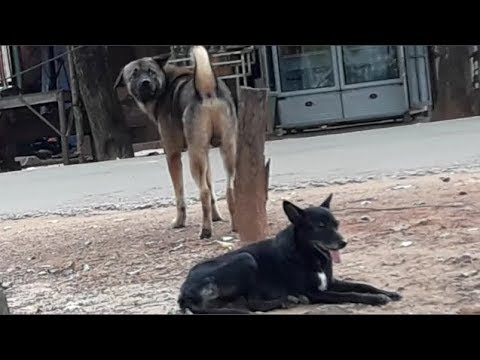 Rural Big Dog want to Struggle each other for Female Street Dog