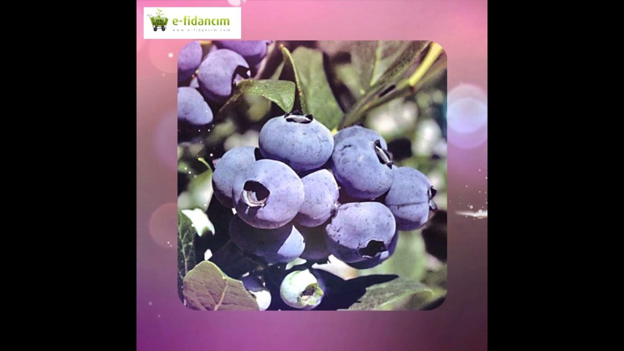 Download Yaban Mersini Likapa Blueberry Fidanı Çeşitleri