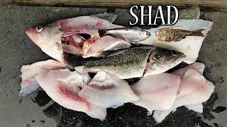 Catch n Cook SHAD, Crappie, Walleye, Kentucky BASS