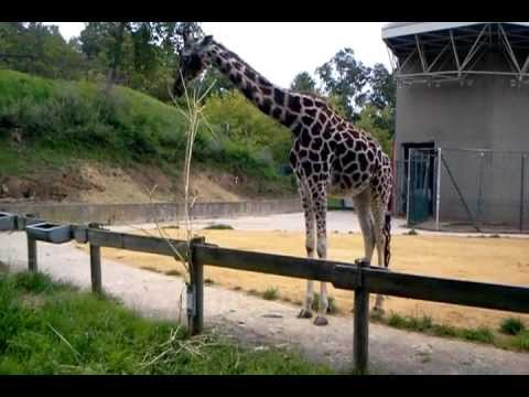 Reticulated Giraffe and Rothschild Giraffe at Saarbrücken Zoo, Germany. 25 July 2011.