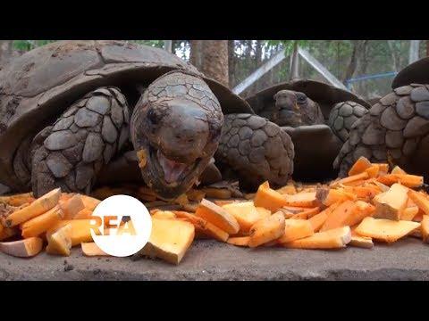 Myanmar Tortoises Fight Extinction   Radio Free Asia (RFA)