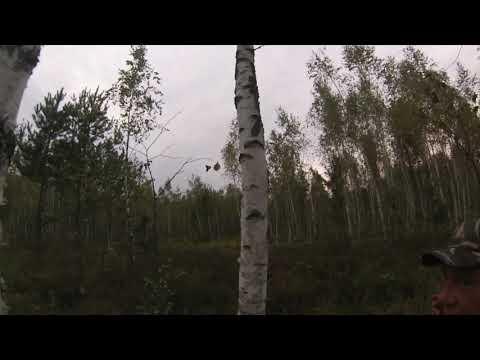 Гон лося. Elk during the rut.