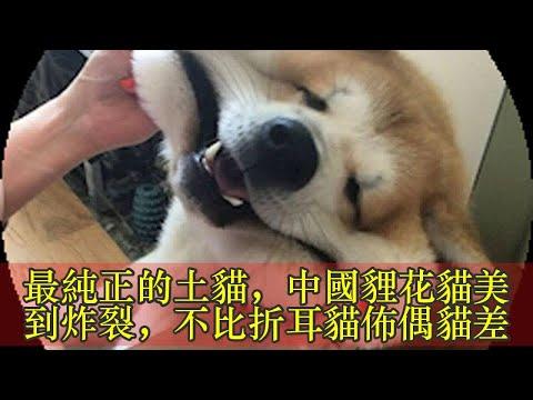 最純正的土貓,中國貍花貓美到炸裂,不比折耳貓佈偶貓差