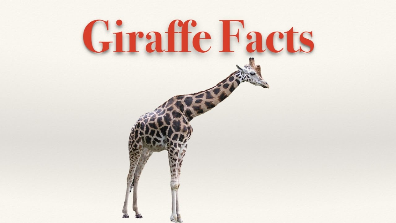 Giraffe facts youtube biocorpaavc Images