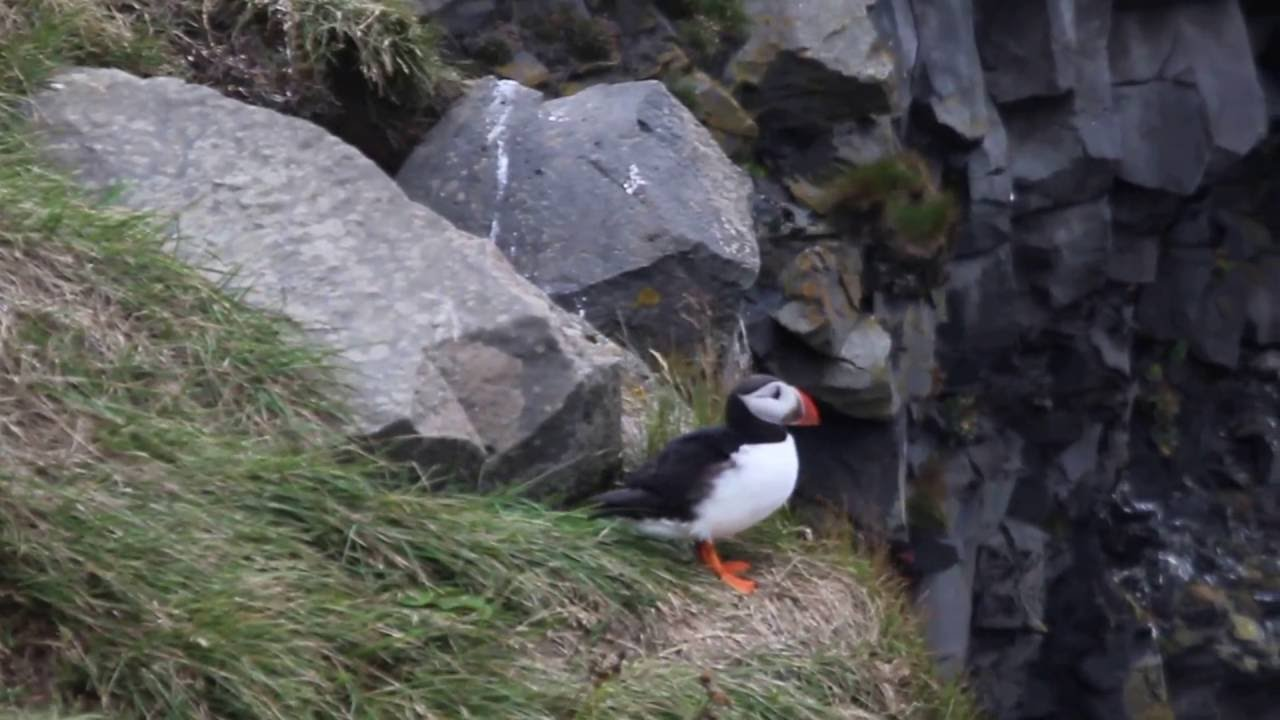 flying puffin youtube