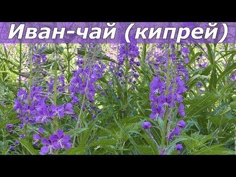 Иван-чай узколистный — Википедия