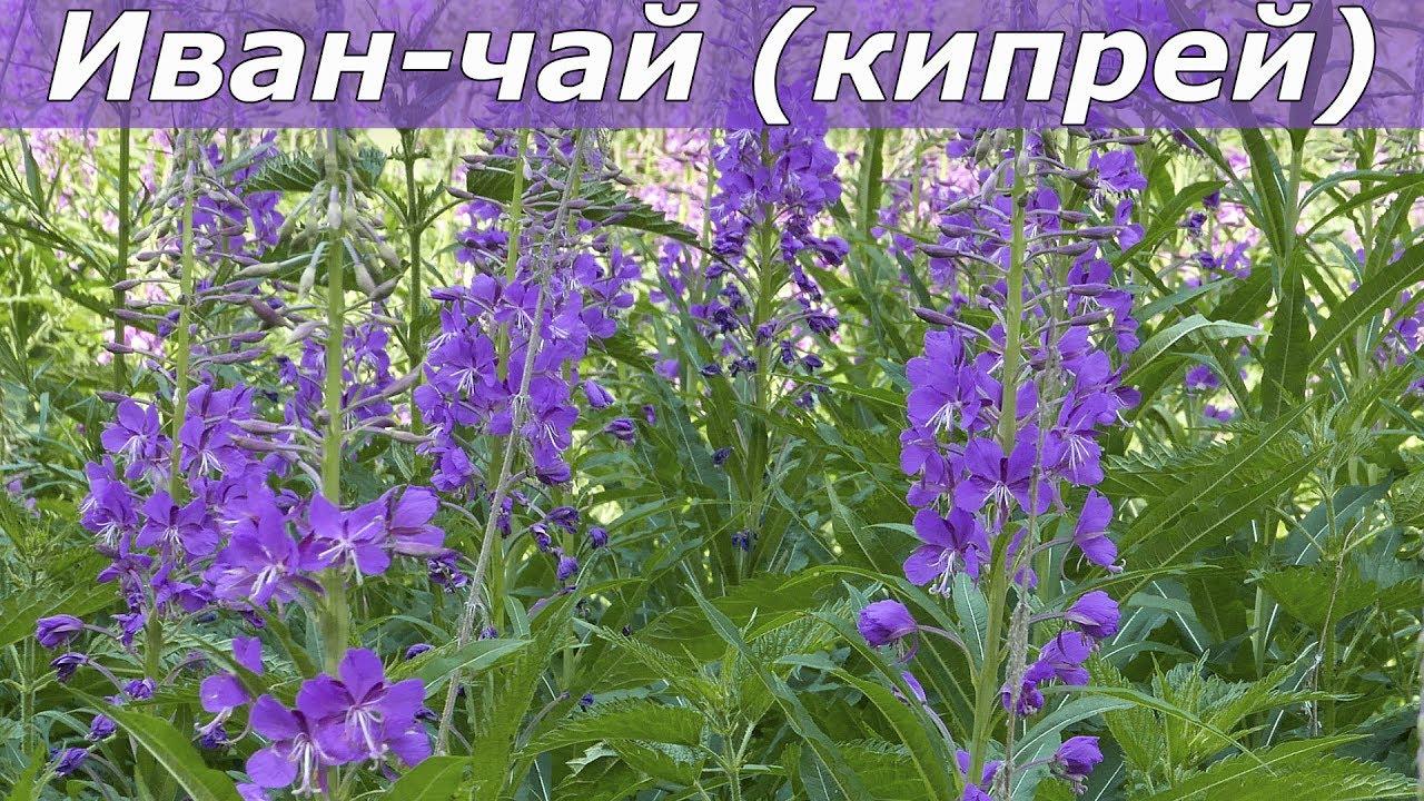 Иван-чай Фото Где Растет