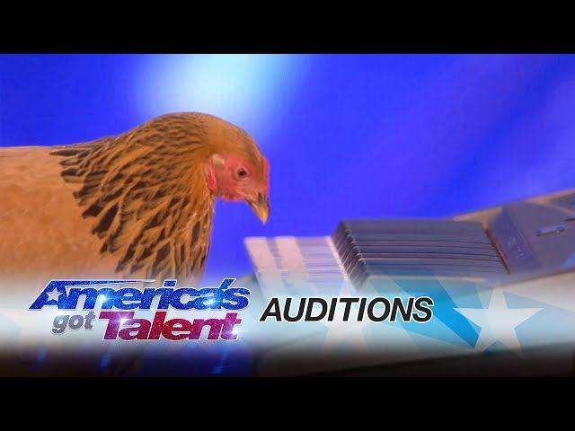 תרנגולת מנגנת בפסנתר