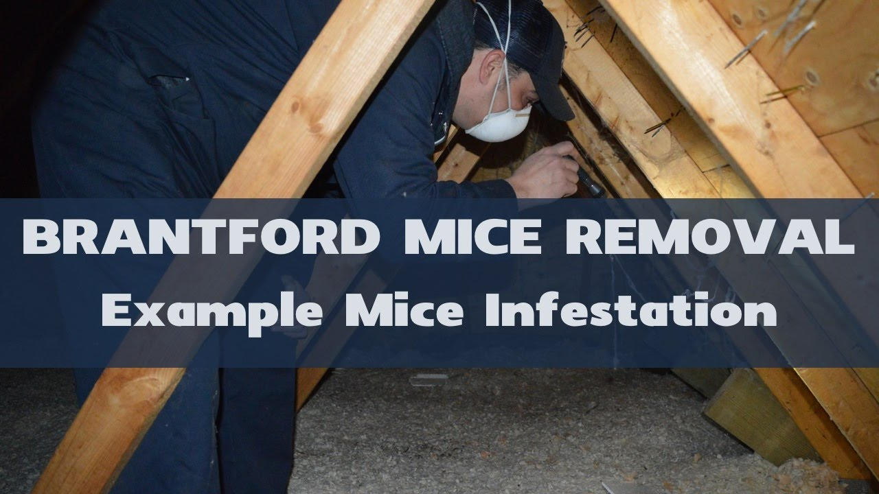 Best Way To Get Mice Out Of Attic | Mice