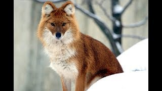 The Dhole or The Indian wild dogs