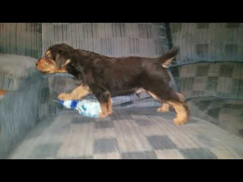 Timmy playing in garage this weekend - Airedale Terrier Puppy