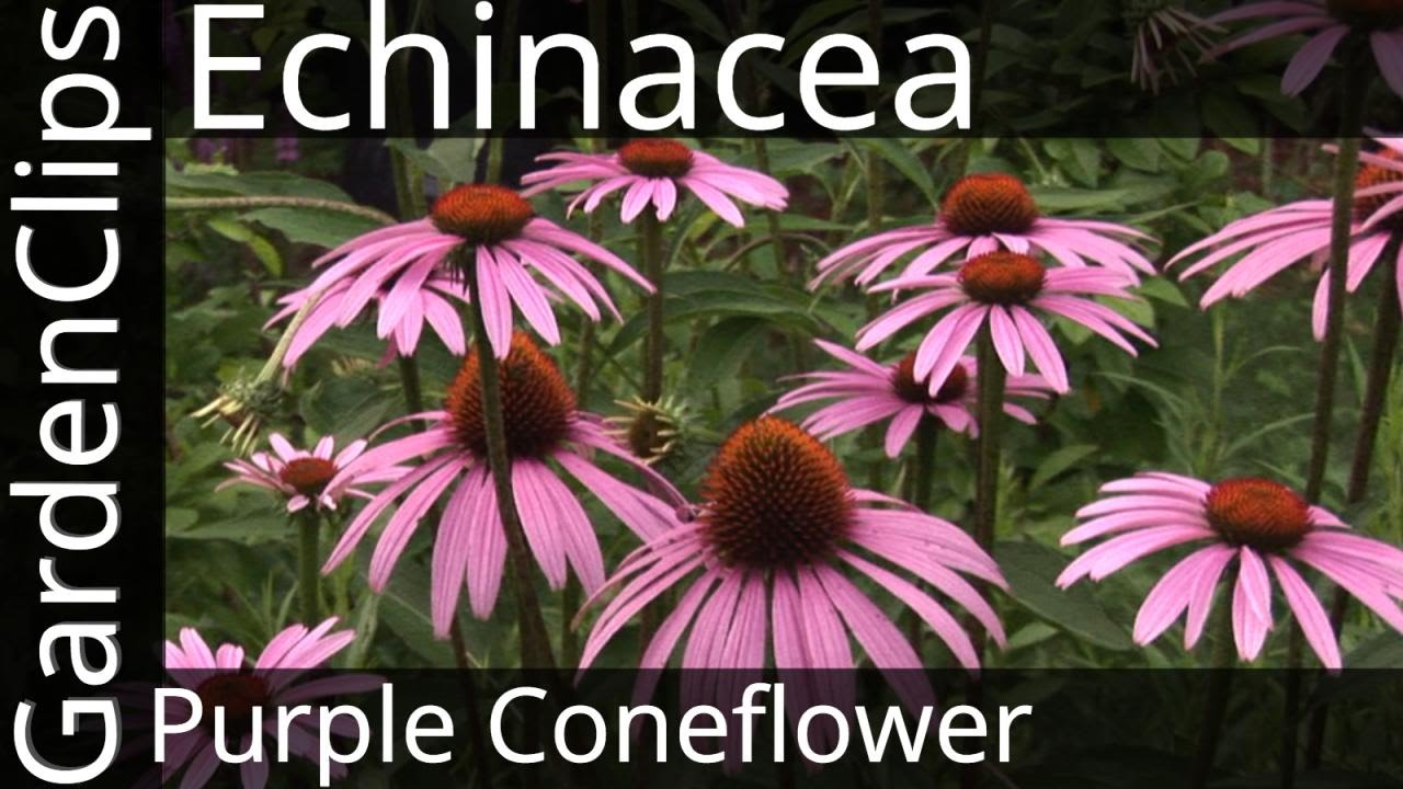 Echinacea Purpurea Purple Coneflower How To Grow Echinacea Youtube