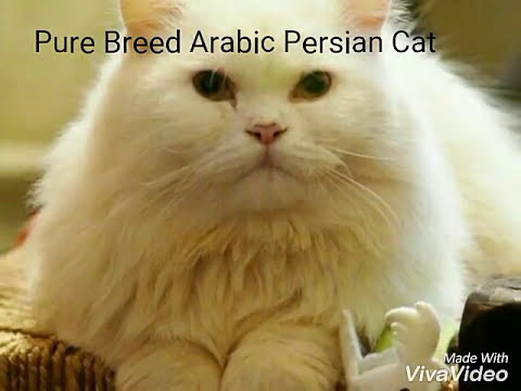 Arabic Persian Cat For Sale