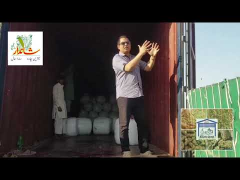 Kuwait Export of Shandar Silage 🌽 شاندار سائلیج 🌽 کی کویت ایکسپورٹ 2020