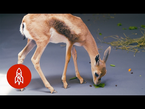 A Gazelle As Rare As It Is Small