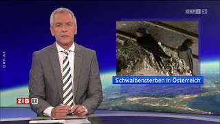 Schwalbensterben in Österreich ORF ZIB1