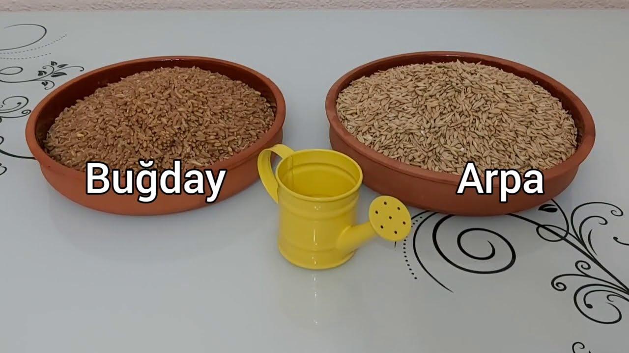 Hasıl Üretimi (Buğday, Arpa, Yulaf, Tohum Çimlendirme)