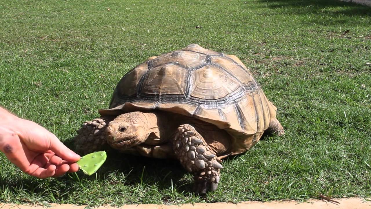 Sulcata tortoise eating hibiscus-turtle pet from Hawaii ...