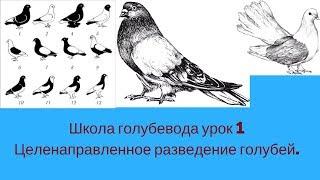 Школа голубевода часть 1 Целенаправленное разведение голубей