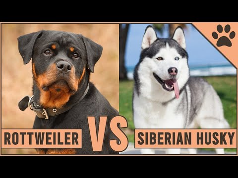 Rottweiler vs Husky – Which Dog Is Better For You?