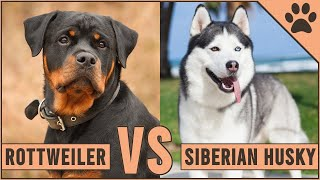 Rottweiler vs Husky - Which Dog Is Better For You?