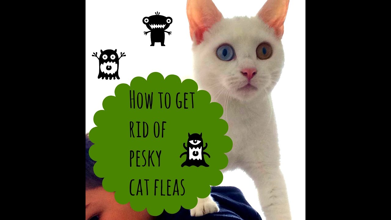 How To Get Rid of Fleas on Your Cat   Simple and Effective ...